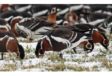 Участници в европейски форум подкрепиха агроекологичната мярка за червеногушата гъска в България
