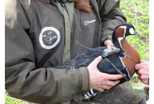 The Action Plan for Conservation of the Red-breasted Goose in Bulgaria was officially approved only two days ago